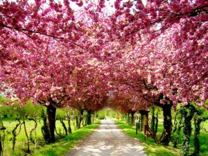 Cherry_Blossom_Natural_Pink